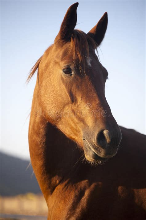 horse side head peaceful thoroughbred portrait mare summertime shot similar goes sun down pic