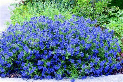 Blau Blühende Stauden. Blau Bl Hende Stauden 39 Westzeit