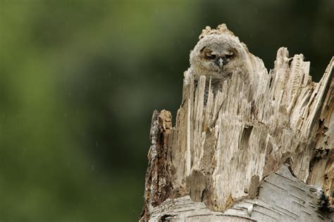 tawny owl boxes nestboxes  rspb