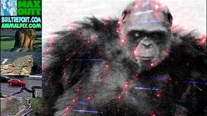 Biggest Chimp Ever - YouTube