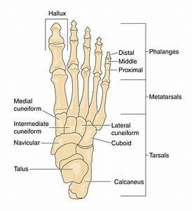 Image Gallery navicular bone