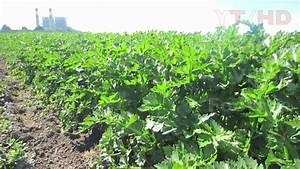 Field Of Growing Celery Stalk Plants W   Leaves From Seed