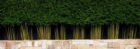 bamboo fence screening plants screen privacy garden backyard living fences yard gardens landscaping modern courtyard homes willow