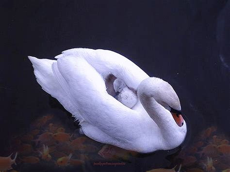 swans animals  english