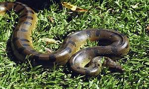 Rainforest Snakes Anaconda | Anaconda Research Project ...