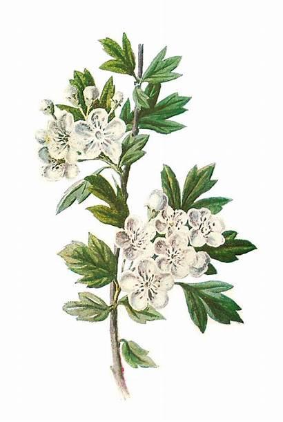 Botanical Flower Hawthorn Wildflower Illustration Clip Clipart