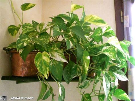 le pour plante interieur le pothos une plante d int 233 rieur facile 224 vivre le jardinoscope toute la flore et la faune