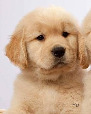 17 best images about golden retrievers best