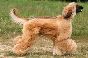 Long Haired Dog Breeds