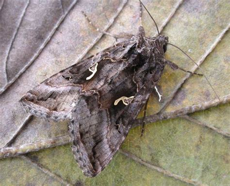 http://www.ukmoths.org.uk/species/autographa-gamma