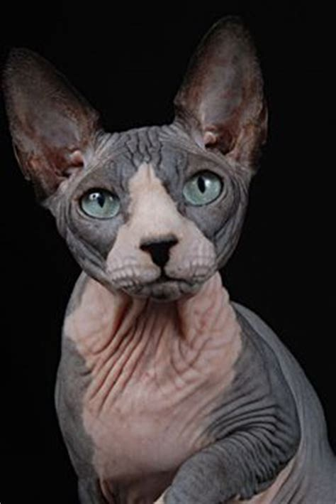 grand oray georg sphynx worldkittens