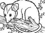 Possum Coloring Tree Opossum Pages Drawing Clip Branch Sitting Printable Hanging Colouring Template Getdrawings Animal Sketch Getcoloringpages Clipartmag sketch template