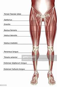 The Muscles Of The Lower Body Stock Illustration