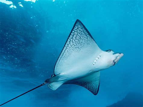 ray fish  blue sea hd wallpapers hd wallpapers