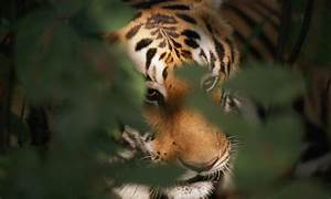 Where do tigers live? And other fun tiger facts | Stories ...