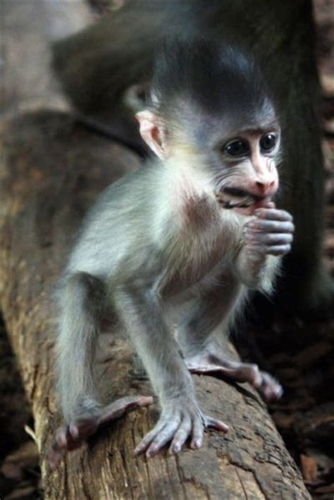 baby mandrill mohawk zooborns