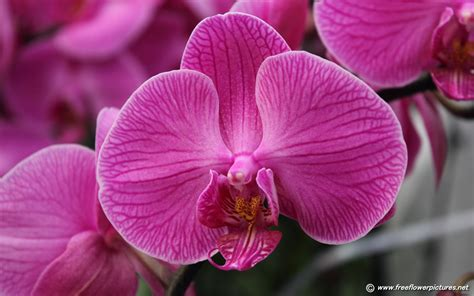 pictures of orchids flowers moth orchid pictures phalaenopsis pictures