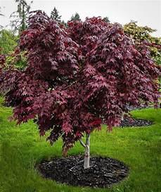 Purple Ghost Japanese Maple Tree