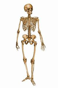 Human Skeleton 12029879 by StockProject1 on DeviantArt