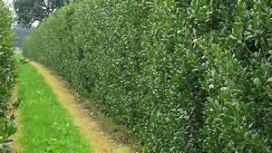 Ilex Hecke Giftig : ilex aquifolium 39 j c van tol 39 treeebb ~ Lizthompson.info Haus und Dekorationen