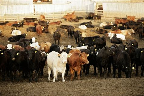 live feeder cattle prices u s livestock price unease weakens cme live cattle