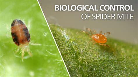 Biological Control Of Spider Mite Phytoseiulus