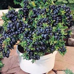 growing blueberry plants in pots growing blueberries in containers how to grow blueberries in containers