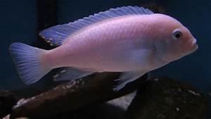 cichlids.com: albino red zebra
