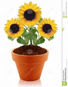 Sunflower In Clay Pot Stock Photography - Image: 24302412