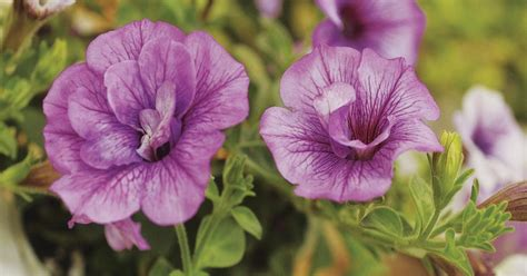 how far apart to plant petunias how far apart do you plant petunias ehow uk