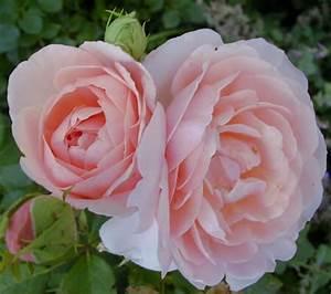 Fleur Rose Et Blanche : fleur blanche et rose 2 ~ Dallasstarsshop.com Idées de Décoration