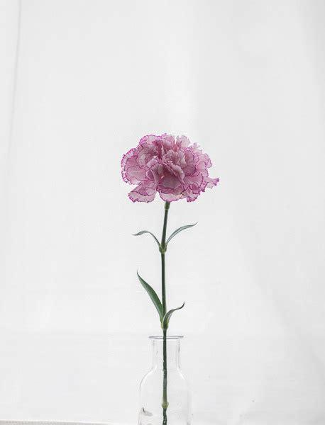 carnation  tumblr