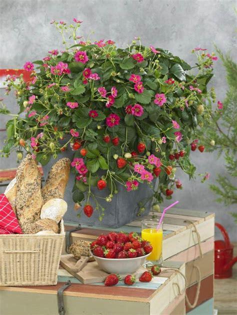 quand planter fraisier en pot fraisier en pot conseil culture et plantation