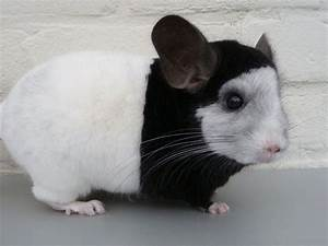 65 best images about chinchilla on Pinterest | Dark, Curls ...
