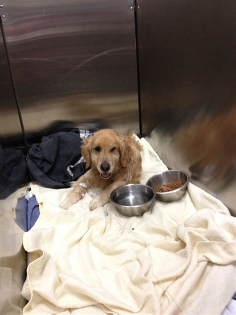 Available Dogs Golden Retriever Rescue Of New Mexico