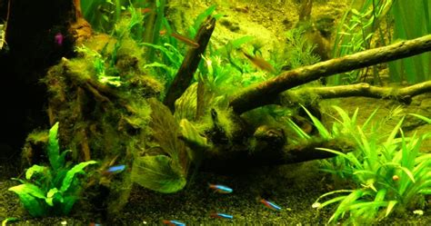 comment enlever les algues dans un aquarium comment 233 liminer les algues filamenteuses d un bassin bande transporteuse caoutchouc