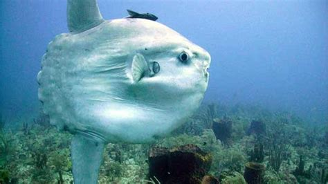 ocean sunfish national geographic society