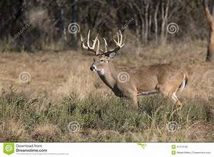 Huge Typical Whitetail Buck With Heavy Antlers Stock Photo ...