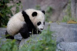 The gallery for --> Cute Baby Panda Bear Cubs