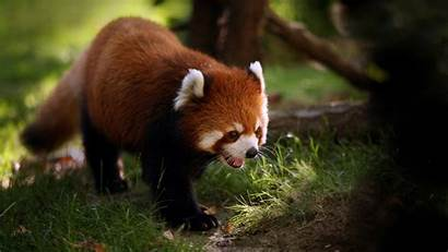 Panda Pandas Forest China Animals Cat Status