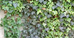 Efeu Sorten Winterhart : english and persian ivy hedera helix photos and ~ A.2002-acura-tl-radio.info Haus und Dekorationen
