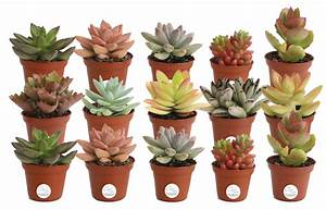 Delray, Plants, Live, Assorted, Succulents, Indoor, House, Plants, 2, Inches, Tall, 15, Pack