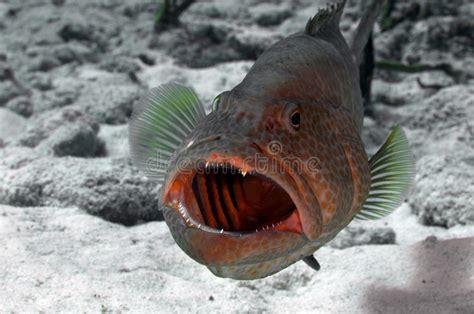 grouper pulizia stazione cleaning station teeth tandbaars schoonmaken bij het nettoyage fish merou gare cayman grand ad ice fresh alla