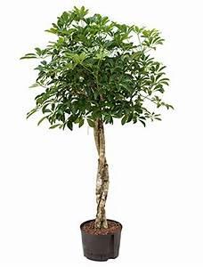 Hydrokultur Pflanzen Kaufen : hydrokultur pflanzen im kulturtopf 28 x 19 cm hydrokulturen kaufen ~ Buech-reservation.com Haus und Dekorationen