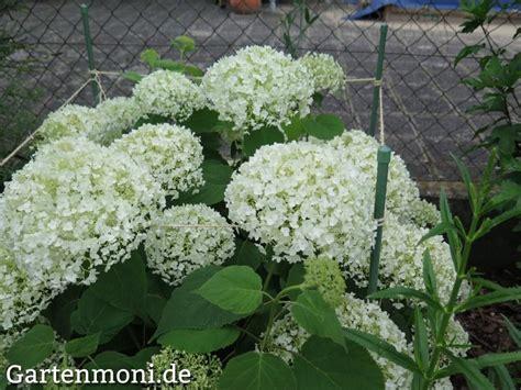 schneeball hortensie schneiden schneeball hortensie pflanzen pflegen und 252 berwintern gartenmoni altes wissen bewahren