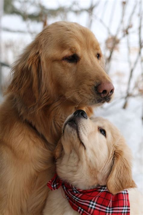 1000 Images About Sweet Goldens 2 On Pinterest Golden