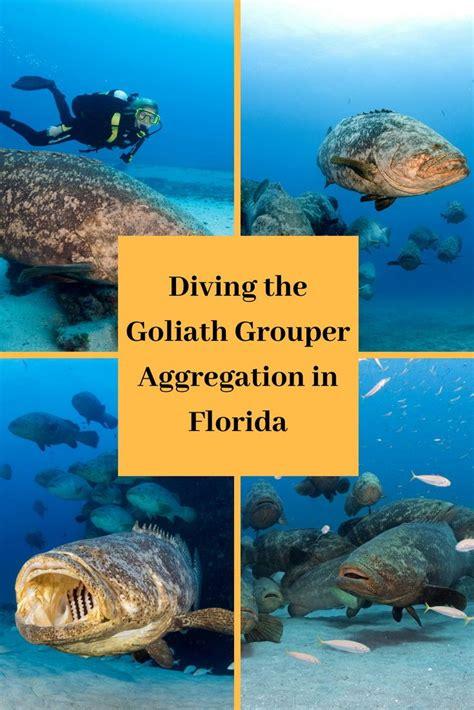 goliath grouper aggregation diving florida scubadiverlife