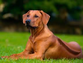 rhodesian ridgeback dog breed 187 information pictures more