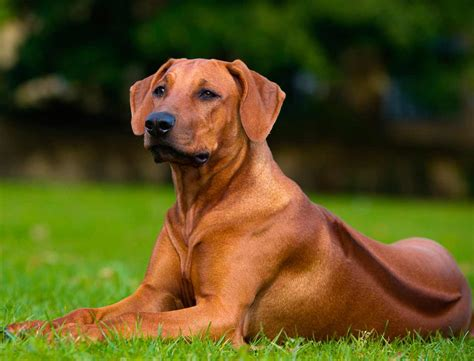 rhodesian ridgeback dog breed 187 information pictures more