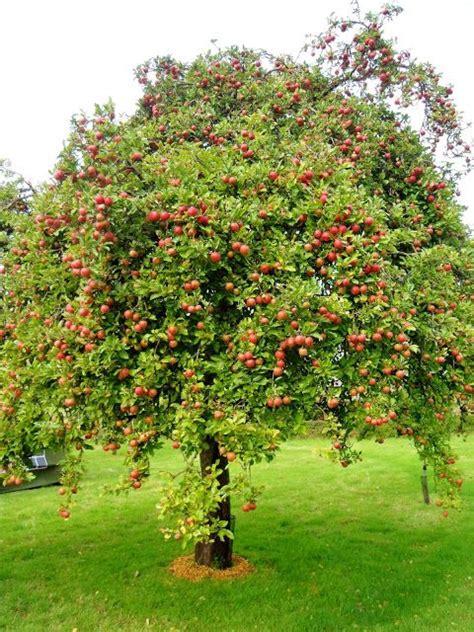 Apple Treeattractsdowny Woodpeckers And Deer May Need